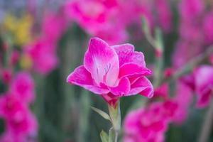canna bloem