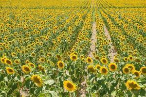 zonnebloem plantage foto