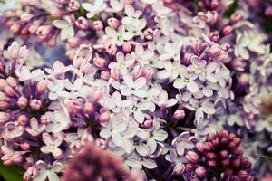 lila foto