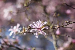 bloeiende magnoliaboom foto