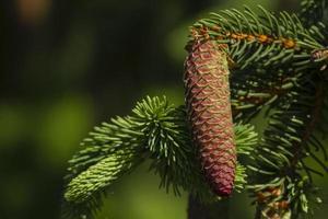 pijnboom en dennenappel