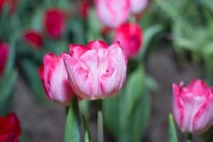 rode tulpen foto