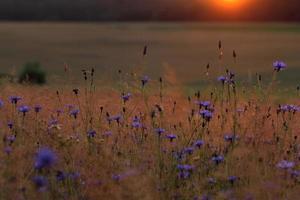 blauwe Korenbloem met gouden rijpe tarwe in veld
