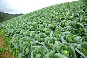 kool groenteboerderij op heuvel, thailand foto