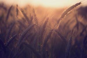 korenveld bij zonsondergang of zonsopgang foto