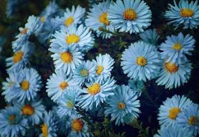 kleine tuin astra bloemen.
