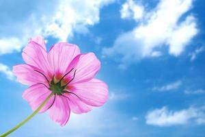 roze bloem van kosmos geïsoleerd met blauwe hemel foto