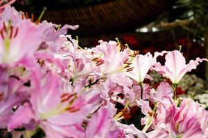 bloeiende leliebloem in de tuin.