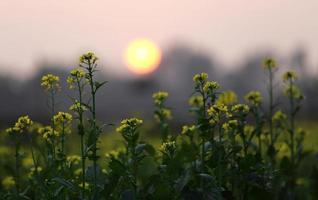 zonsondergang achter een mosterdveld foto