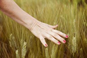 hand van vrouw strelen korenaren in zomerdag foto