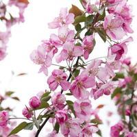 appelboom bloemen