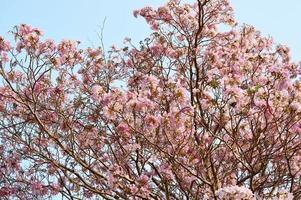 roze bloemen tabebuia rosea bloesem foto