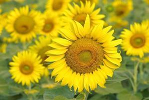 zonnebloem glimlach