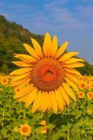 zonnebloemen boerderij foto