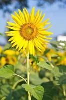 zonnebloem boerderij foto