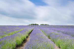 lavendel boerderij velden