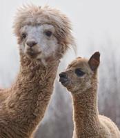 alpaca op de boerderij foto