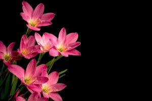 close-up, lichtroze, amaryllisbloem, zwarte achtergrond, grote bloesems.