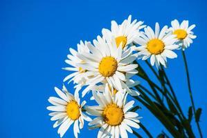 madeliefjes tegen blauwe hemel foto