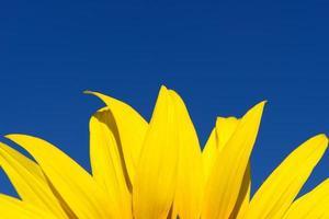 zonnebloem en blauwe hemel foto