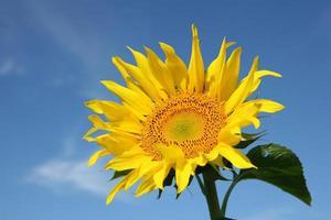 zonnebloem op blauwe hemel foto