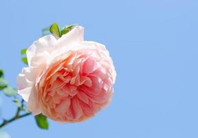 roze roos tegen blauwe hemel