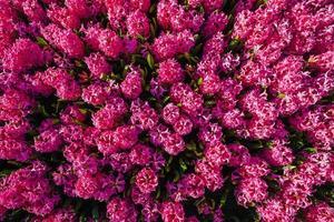 roze hyacinten foto