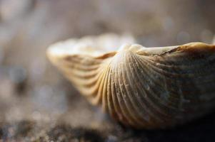 zeeleven: macroschelp op zwart zand foto