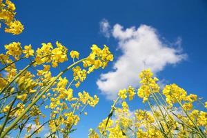 koolzaadbloemen en blauwe lucht