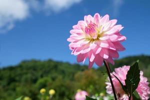 roze dahlia met hemelachtergrond
