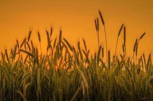tarwe op oranje hemelachtergrond