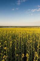 blauwe lucht en geel veld