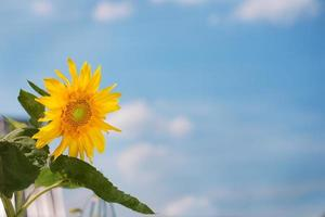 zonnebloem en blauwe hemelachtergrond foto