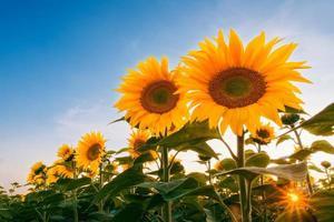 veld met zonnebloemen onder avondrood