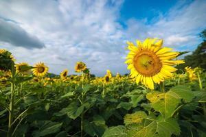 bloeiende zonnebloem veld met blauwe hemel. foto