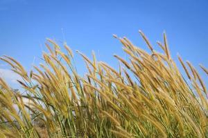 riet van gras onder blauwe hemel foto
