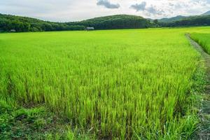 rijst ingediend blauwe hemel woodle hut foto