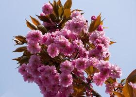 lente kersenbloesem tegen blauwe hemel foto