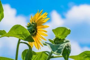 blauwe lucht en zonnebloem in de zomer