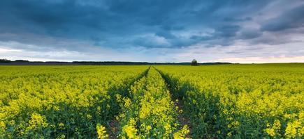 bloeiende koolzaad veld onder bewolkte hemel foto