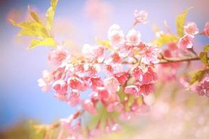 roze kersenbloesems tegen een blauwe hemel foto