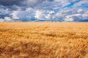 gebied van tarwe dramatische bewolkte blauwe hemel foto