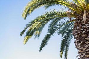 grote palmboom tegen de blauwe hemel