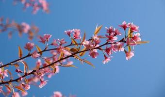 kersenbloesem bloemboom met heldere hemel foto