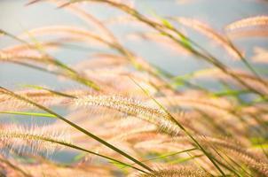 wazig grijsachtig grasbloem op blauwe hemel foto