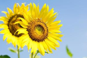 close-up van zonnebloem met hemelachtergrond