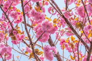 bloeiende dubbele kersenbloesem boom en blauwe hemel