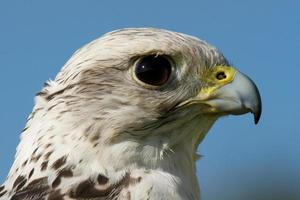 close-up van het hoofd van de giervalk tegen blauwe hemel