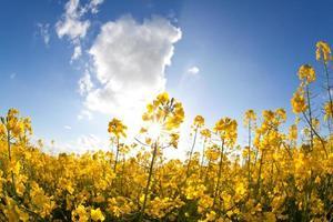koolzaadolie bloemen en zonnestralen over blauwe hemel