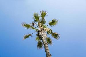 enkele palmboom op een wolkenloze blauwe hemel foto